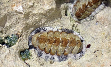 Sea Mollusk Sees With Hundreds Of Armored Eyes