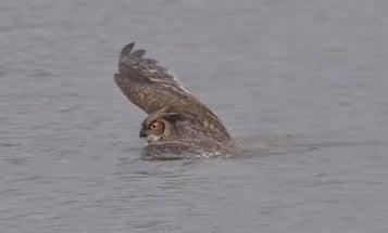 Watch An Owl Perform An Elegant Butterfly Stroke