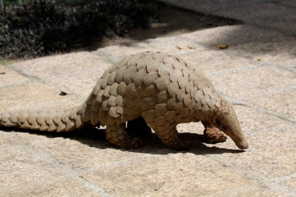 The Pangolin Finally Made It Onto The List Of The World's Most Protected Animals