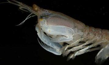 Researchers See Better Optical Data Storage Through Shrimp Eyes