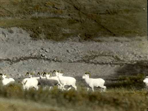 Dall sheep in Denali