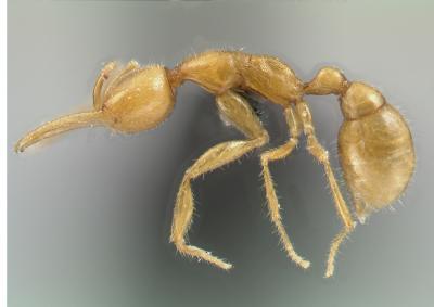 Newest Ant Species is Has Oldest Ancestors