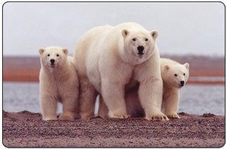 Polar Bear Listed as Threatened Species