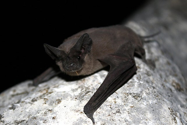 Male Bats Bust Out Complex Serenades To Woo The Ladies