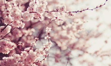 The man who saved Japan's iconic cherry blossoms from extinction
