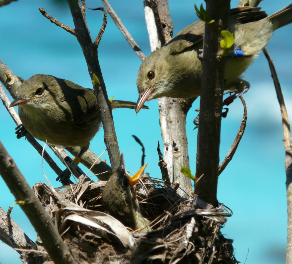 Seychelles warbler evolution nest Cousin Island