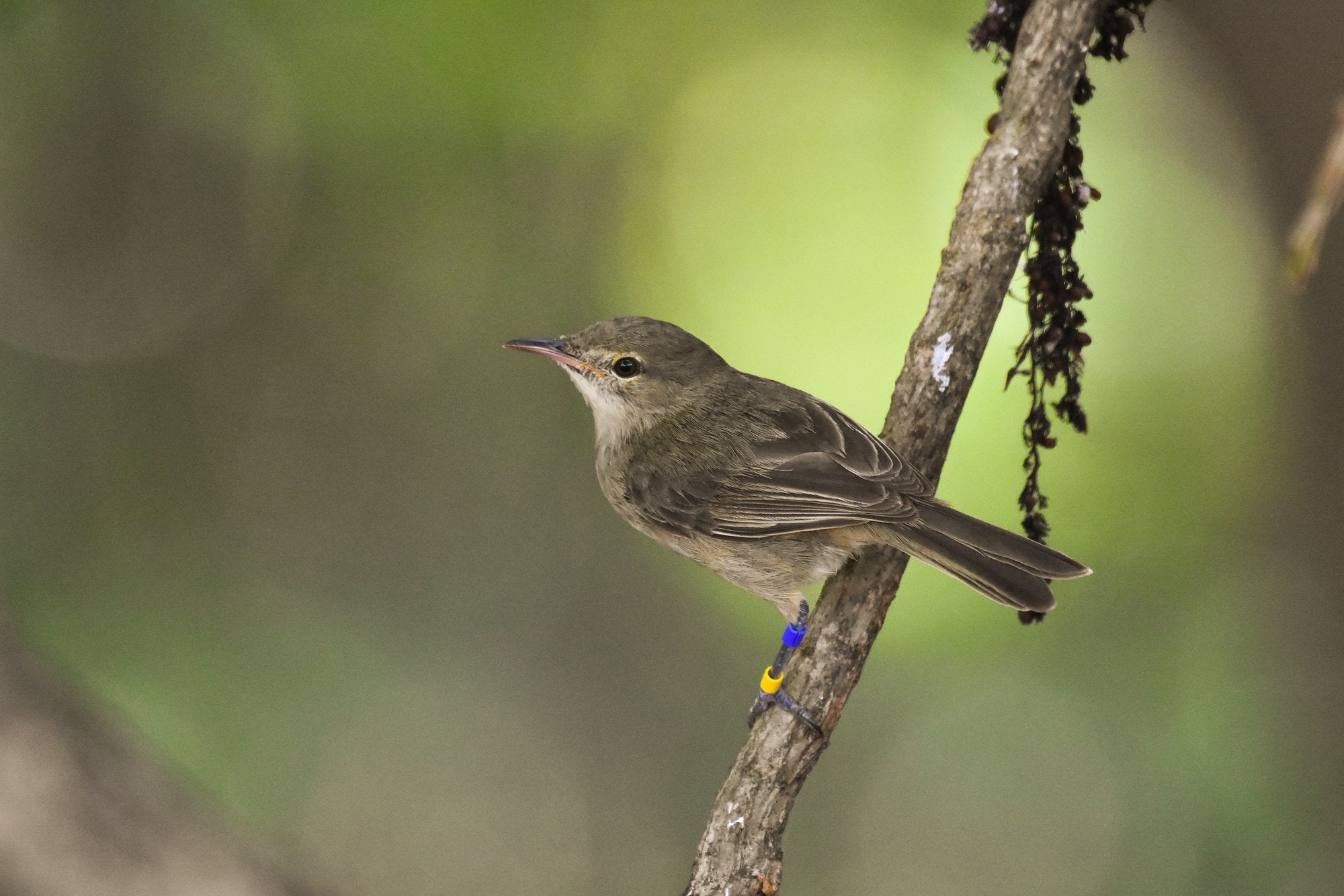 Warblers live longer with a little child-rearing help from their friends