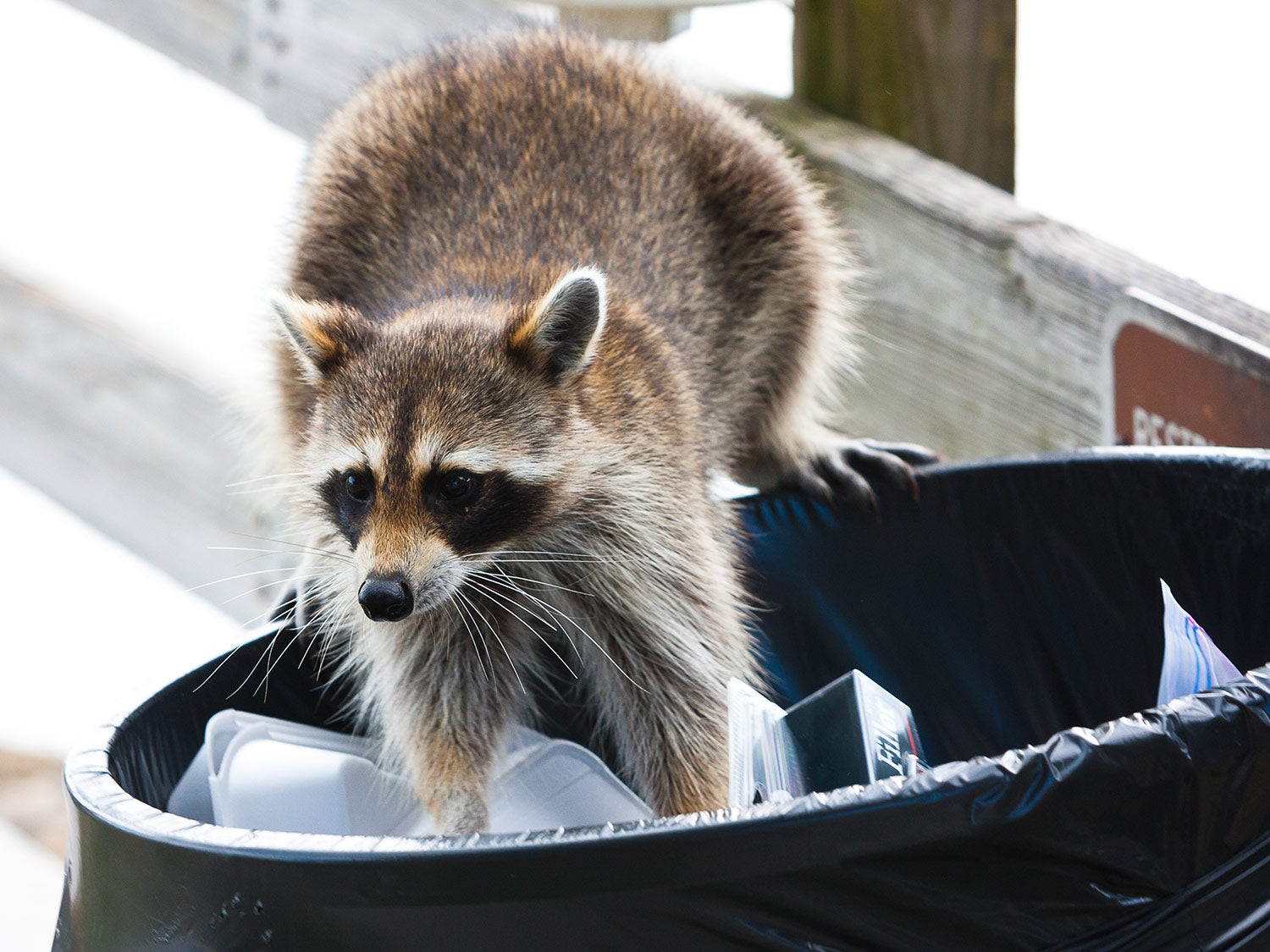 How to keep raccoons and possums away from your house
