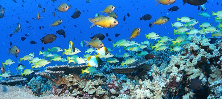 Lobe coral, Pohaku puna