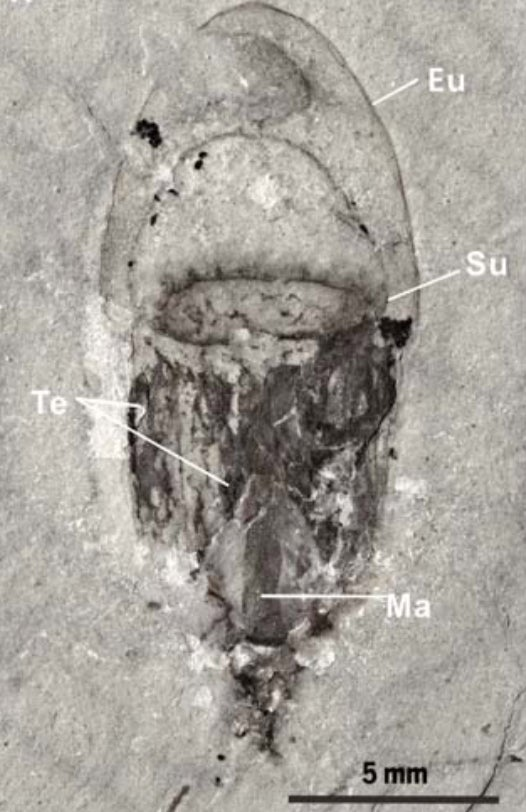 A 514m year old jellyfish