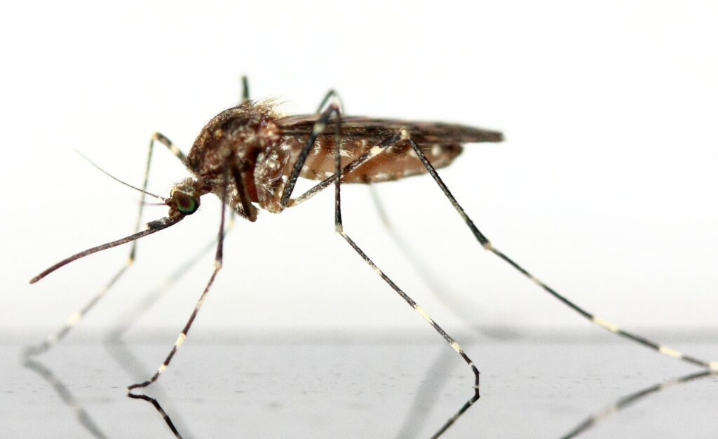Mosquito death disease
