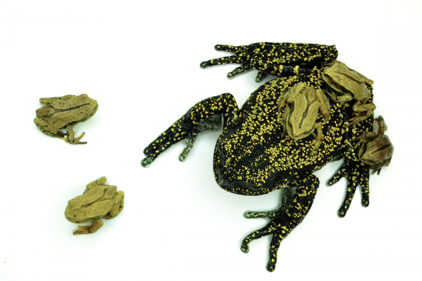 Earth's most invasive species is a frog-killing fungus