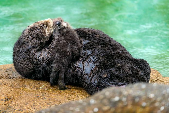 Watch A Wild Sea Otter Give Birth