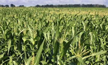 Air pollution from corn production might contribute to thousands of deaths each year