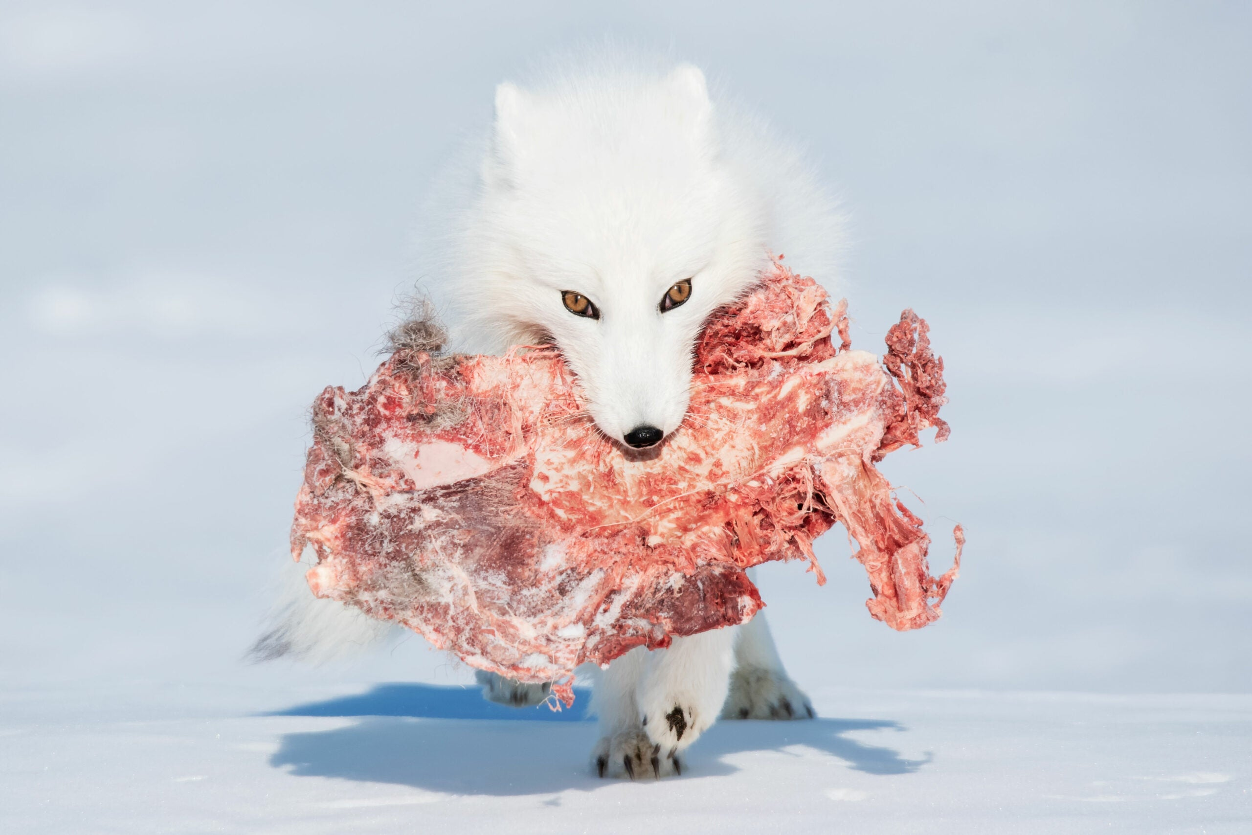 an arctic fox carrying meat