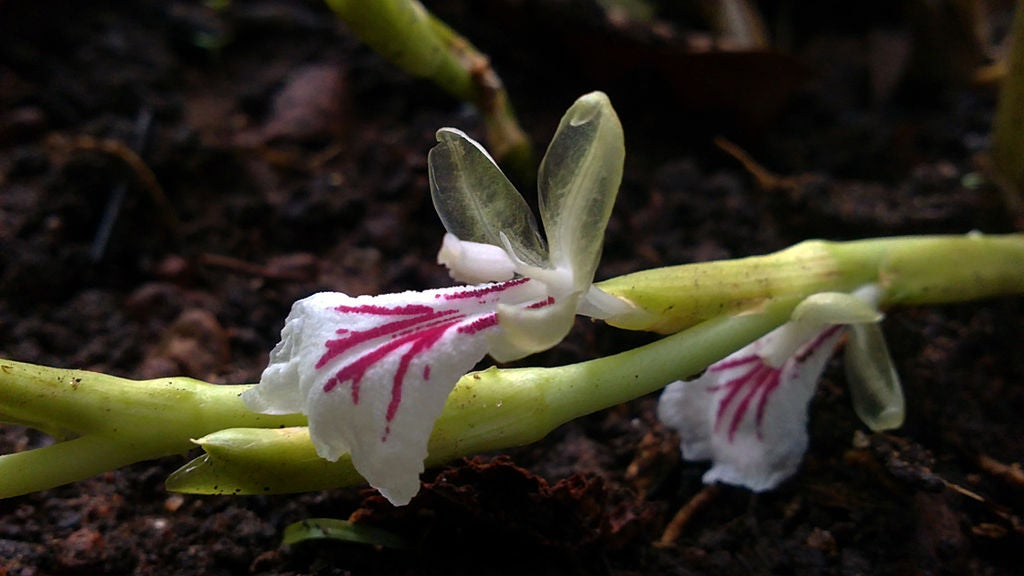 white flowers with pink streaks