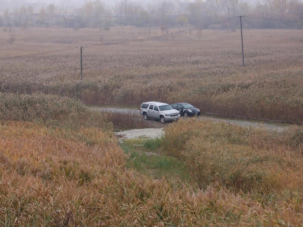 Ohio field overgrow with invasive Phragmites