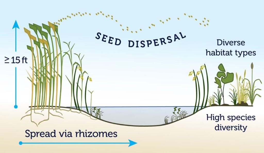 Phragmite seed dispersal