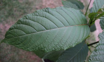 Kratom is all the rage, but this natural supplement can be dangerous