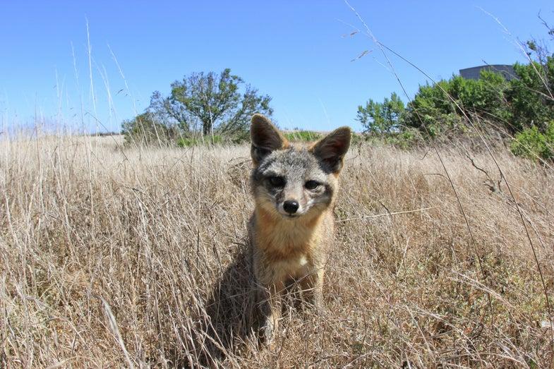 San Nicolas Island fox