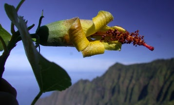 Say 'aloha!' to this not-actually-extinct Hawaiian flower