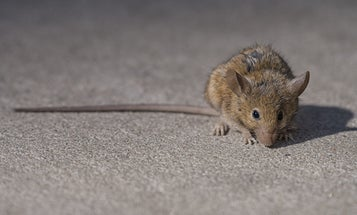 Rats love climate change