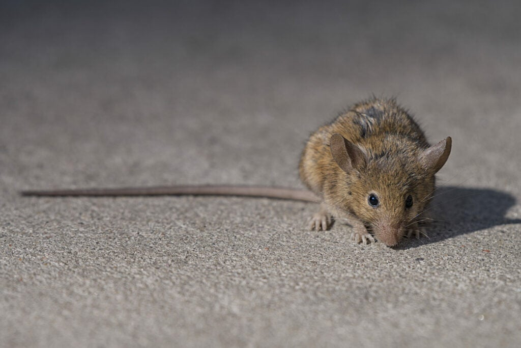 A brown rat in New York City.