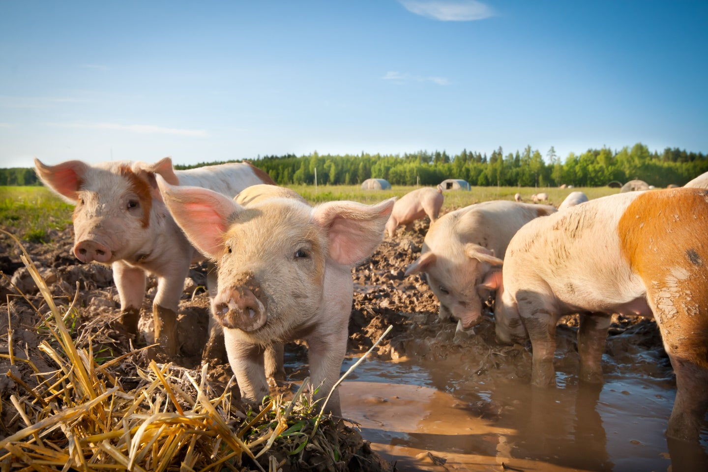 African swine fever has killed a million pigs—and isn't slowing down