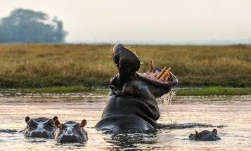 The world secretly runs on hippo poop