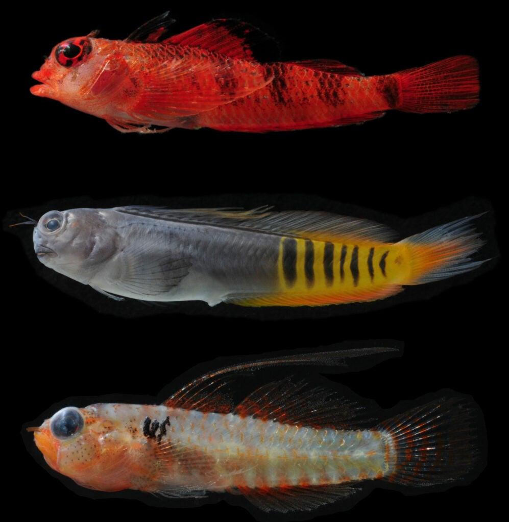 cryptobenthic fish matador triplefin gulf blenny shouldermark dwarfgoby