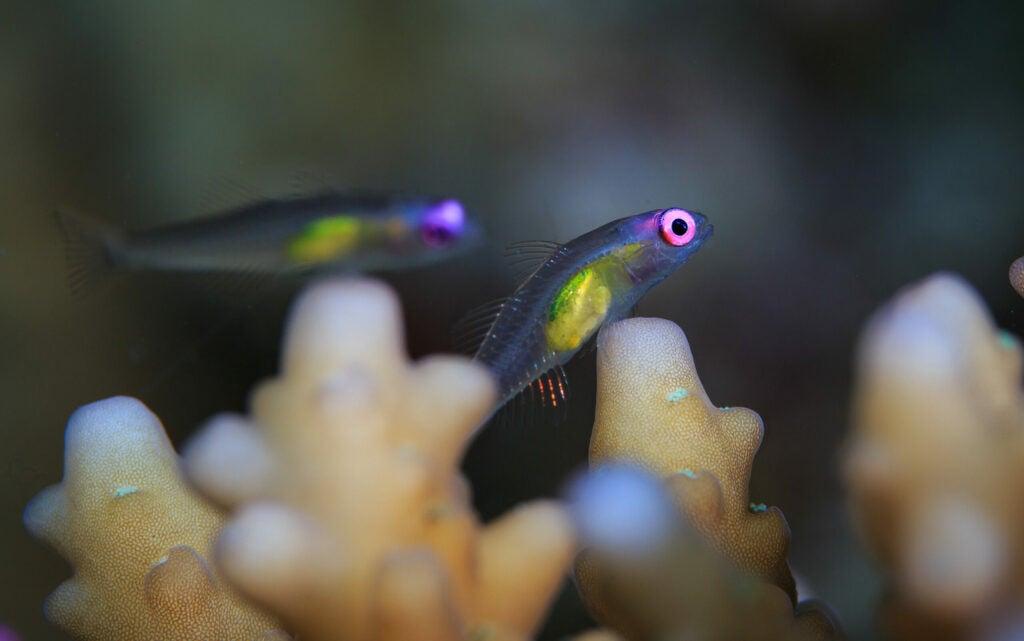 Redeye gobies cryptobenthic fish