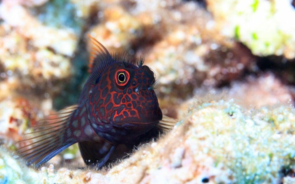 redstreaked blenny cryptobenthic fish