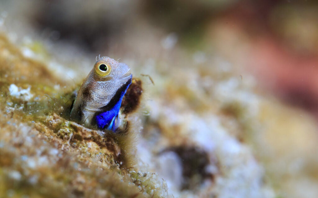 Cryptobenthic fish bluebelly blenny