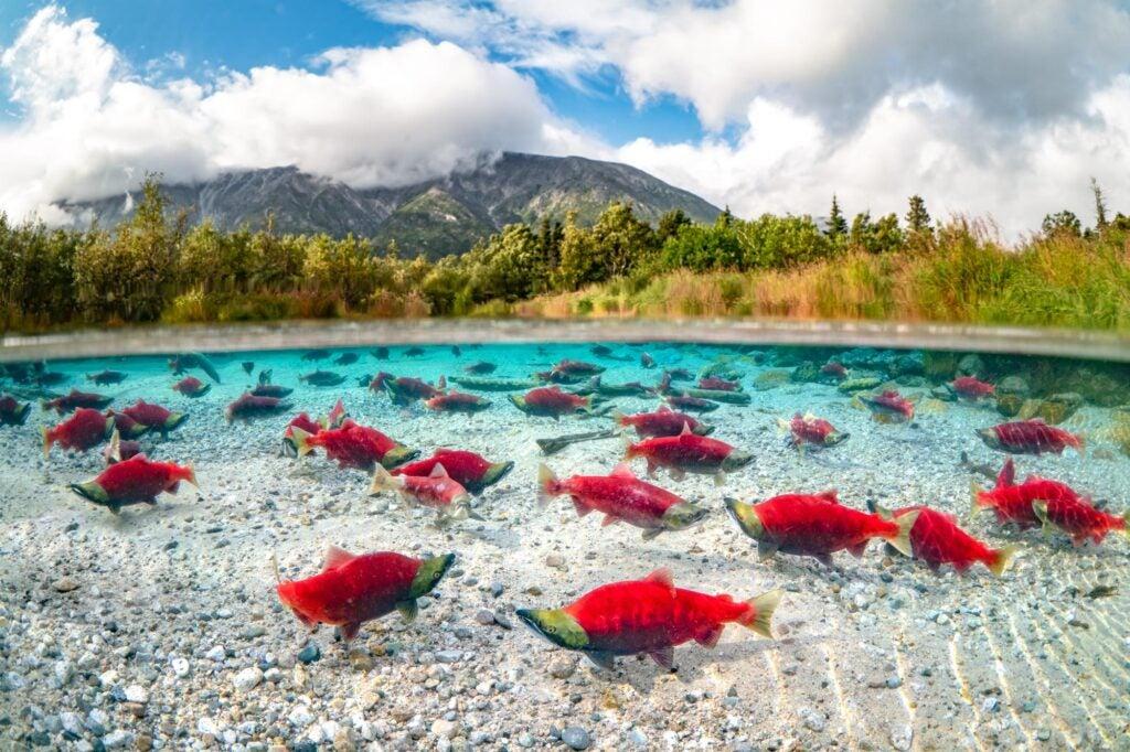 sockeye salmon in lake