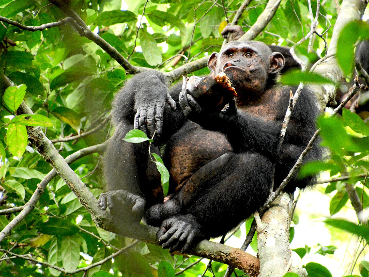 Scientists caught chimps smashing tortoises like walnuts for future snacking