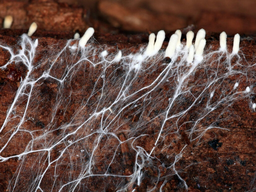gathering of nutrients by fungal hyphae