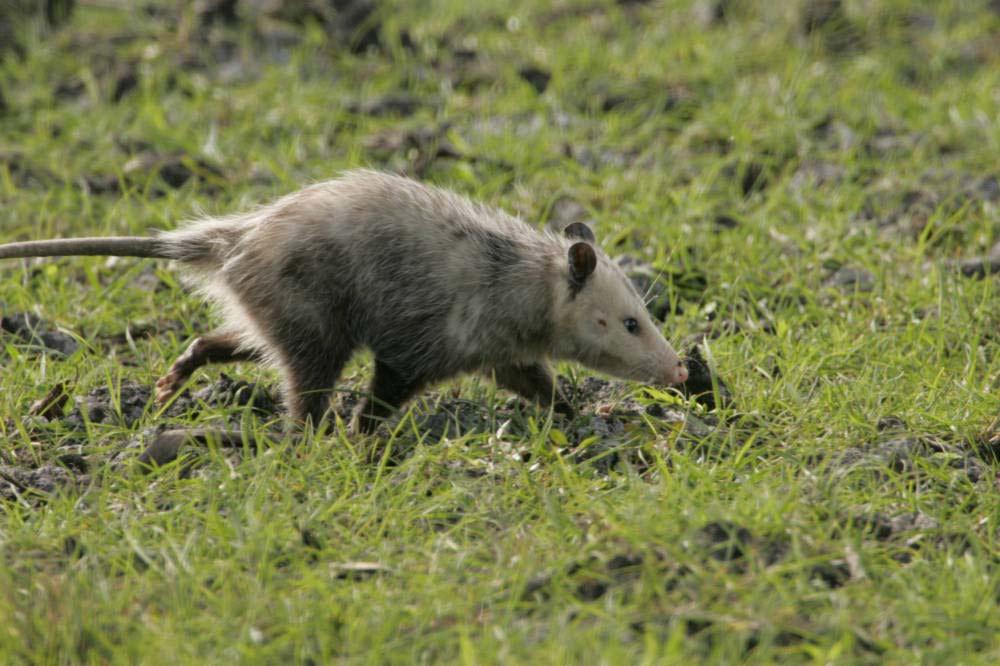 """""""Opossum"""""""