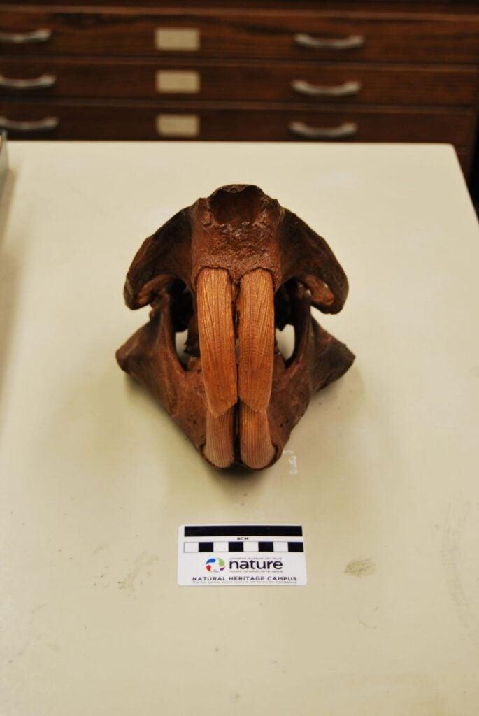 Giant beaver skull.