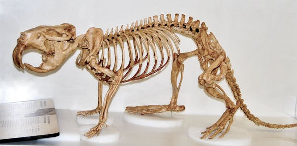 A giant beaver skeleton.