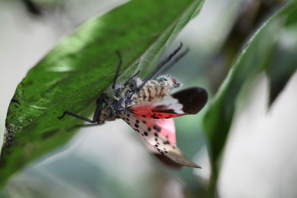 a lanternfly