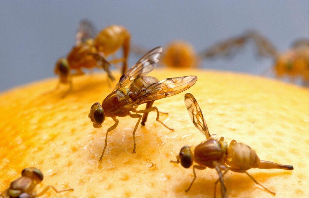 Fruit flies protein iron zinc