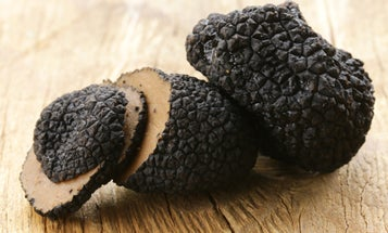 Black truffles are in trouble