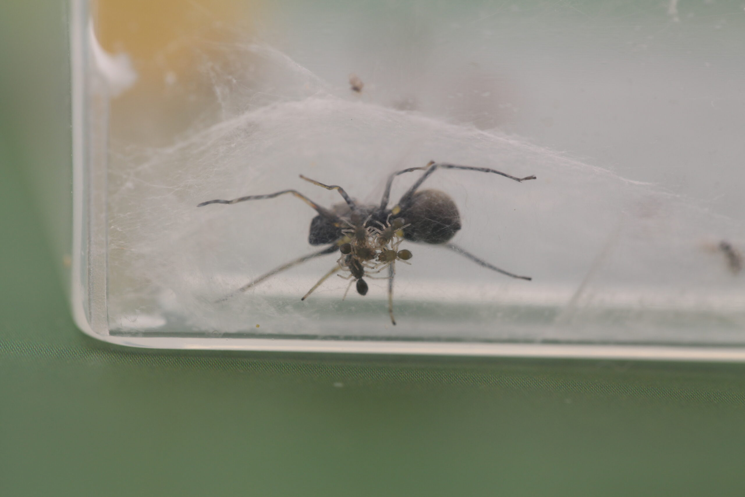 These spiders make protein-packed milk for their young