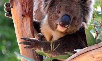 Koalas use their noses to find friends and avoid enemies