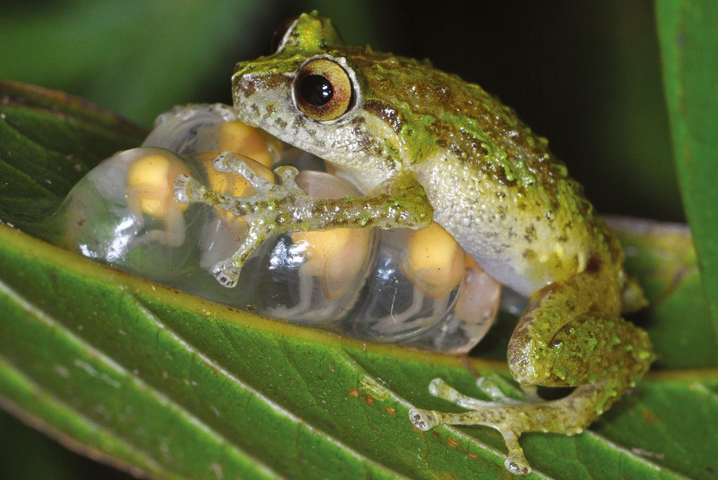 This island is many frogs' last hope for surviving the world's deadliest pathogen