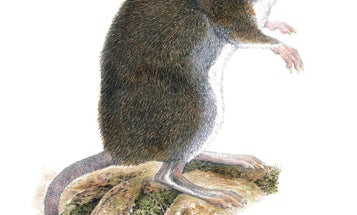 Biologists discovered two new species of shrew rat, no thanks to peanut butter