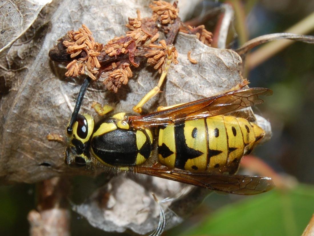 western yellow jacket wasp