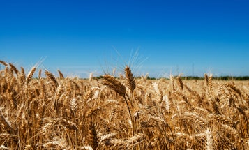 Scientists just debunked a major myth about heirloom wheat