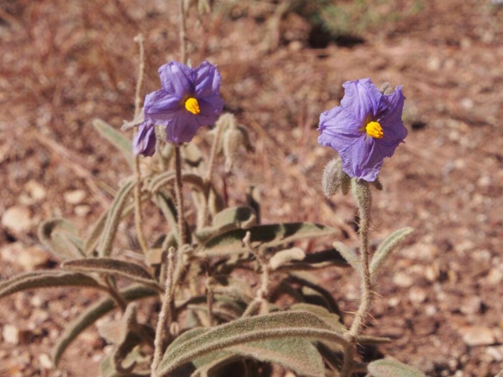 Purple tomato flowers