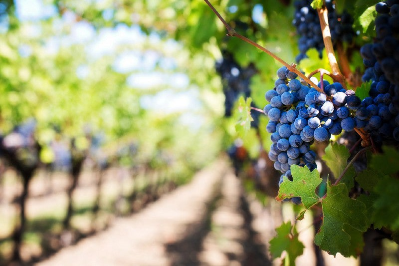 grapes on the vine in a vineyard